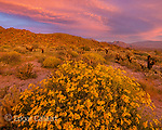 Dawn, Brittlebush, Glorietta Canyon, Anza-Borrego Desert State Park, California