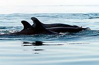 False killer whales, Pseudorca crassidens, Angel de la Guarda Island, Sea of Cortez, Mexico, East Pacific Ocean