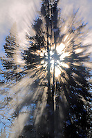 The sun bursts through the steam and a pine tree at Yellowstone National Park, Wyoming