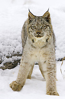 Canada Lynx standing in the snow - CA
