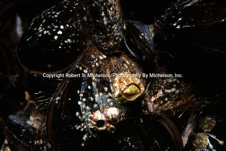 Northern Rock Barnacle on blue mussels