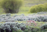 One of a pair of twin fawns picks its way through the sage before plopping down out of sight.