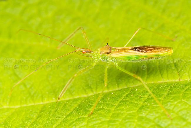 Assassin Bug (Zelus luridus)