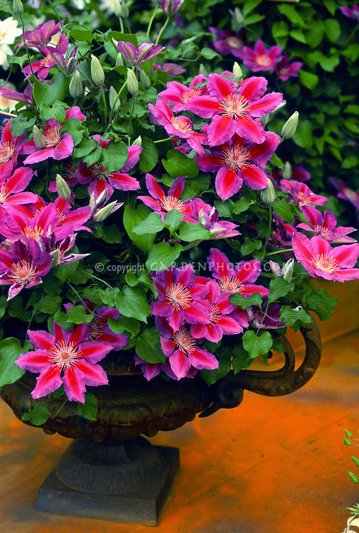 Clematis 'Anna Louise' growing in urn