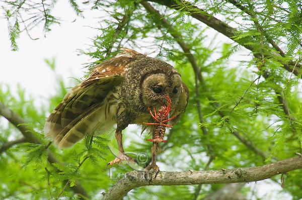 Barred Owl feeding on crayfish (crawfish) it has caught.   Southern U.S., LA.