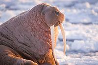 walrus, Odobenus rosmarus, bull on the pack ice, Bering Sea, Alaska