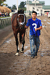 Thunder Moccasin being led over to the saddling paddock before winning the Hutcheson Stakes(G2) at Gulfstream Park. Hallandale Beach, Florida. 02-11-2011