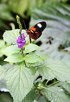 Stock photo: Postman butterfly perched on a delicate stem of a violet flowers plant in the Callaway gardens in Georgia USA.