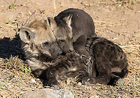 This hyena den in Kruger had mixed generations of pups. There's quite a difference between these youngsters.