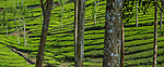 Tea production, Kerala, India , mahogany shade trees