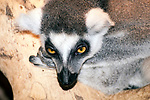 ring-tailed lemur, close up of face