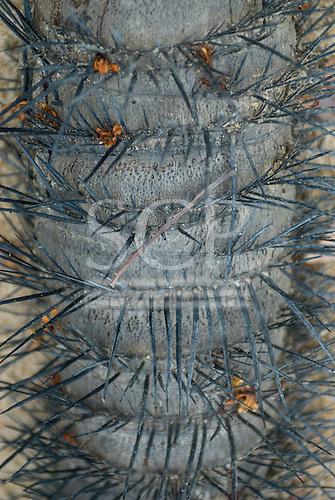 Pará State, Brazil. Xingu River. Thorny palm tree.