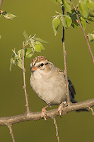 Chipping Sparrow, Spizella passerina, immature, Uvalde County, Hill Country, Texas, USA, April 2006