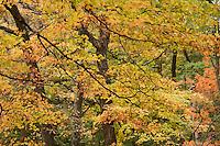 maple, autumn color at Arnold Arboretum, Boston, MA