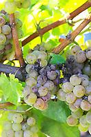 Bunches of ripe grapes. Sauvignon Blanc. Chateau Guiraud, Sauternes, Bordeaux, France