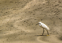 Fine Art Wildlife Photograph of a Snowy Egret hunting for insects and crustaceans along a beach in La Cruz de Huanacaxtle Mexico.