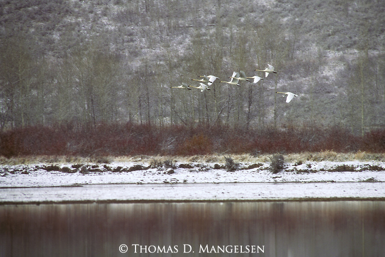 Trumpeter Swans fly over the Snake River in Grand Teton National Park.