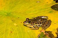 Forrer's Grass Frog (or Lepoard Frog), Lithobates forreri (Rana forreri), in the gardens of the Hotel Bougainvillea, Santo Domingo de Heredia, Costa Rica