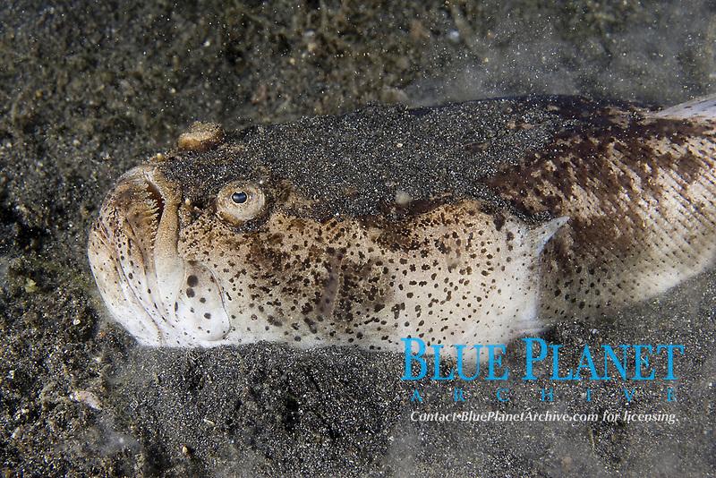 Whitemargin Stargazer, Uranoscopus sulphureus, Lembeh Strait, North Sulawesi, Indonesia,