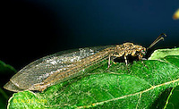 1L51-021b  Antlion adult  -  Myrmeleon crudelis.