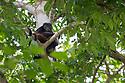 Mantled Howler Monkey {Alouatta palliata} Corcovado National Park, Osa Peninsula, Costa Rica, May.