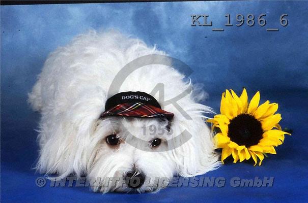 Interlitho, Alberto, ANIMALS, dogs, photos, dog, hat, sunflowers(KL1986/6,#A#) Hunde, perros