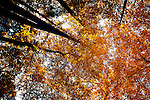 Looking up at golden colored leaves in Smoky Mountain National Park, TN