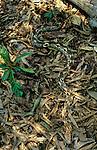 Madagascar Ground Boa (Acrantophis madagascariensis) concealed on leaf-litter. Lokobe forest, Nosy Be, north west Madagascar