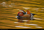 Mandarin Duck, Male Drake, Aix galericulata, Franklin Canyon, Southern California