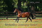 Bob, ANIMALS, REALISTISCHE TIERE, ANIMALES REALISTICOS, horses, photos+++++,GBLA4404,#a#, EVERYDAY