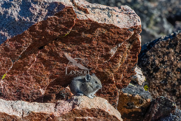 Young American pika (Ochotona princeps) resting in its boulder field home.  Beartooth Mountains, Wyoming/Montana border.  Summer.  This photo was taken in alpine setting at around 11,000 feet (3350 meters) elevation.