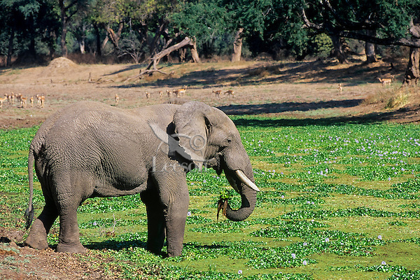 African Elephant bull feeds in pond covered with water plants.  Mana Pools National Park, Zimbabwe.