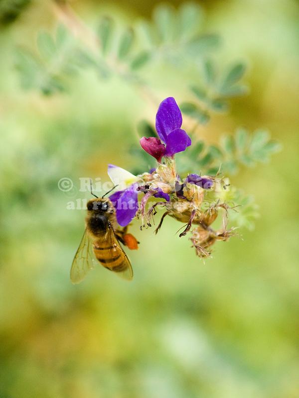 Honey Bee, Apis mellifera, on flowers of Baja Dalea, Dalea bicolor