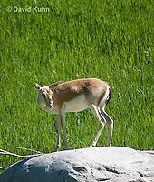 1222-1003  Goitered Gazelle (Black-tailed or Persian gazelle) in Grassland, Gazella subgutturosa  © David Kuhn/Dwight Kuhn Photography