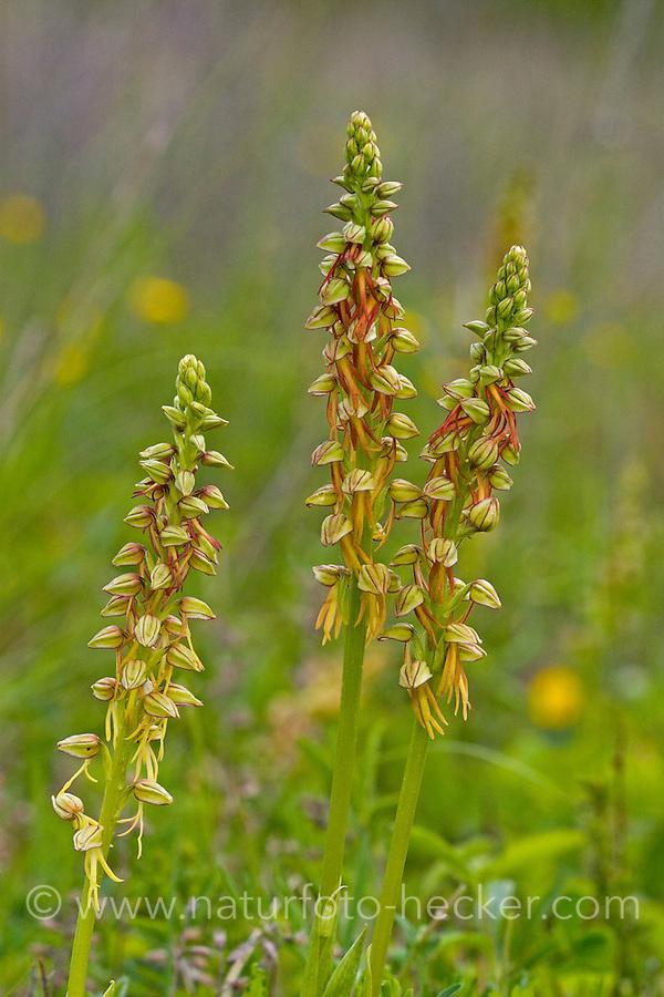 Ohnhorn, Ohnsporn, Ohnhorn-Orchidee, Puppenorchis, Fratzenorchis, Aceras anthropophorum, Orchis anthropophora, Man Orchid, L'homme-pendu