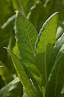 Europe/France/Midi-Pyrénées/46/Lot/Env de Cénevières: Champ de tabac