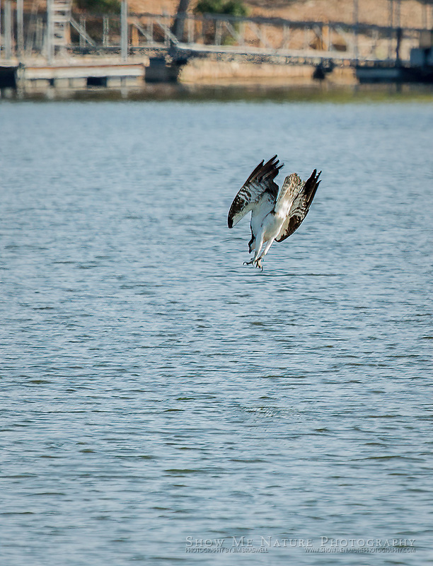 Osprey dives head-first into Lake of the Ozarks, for a fish