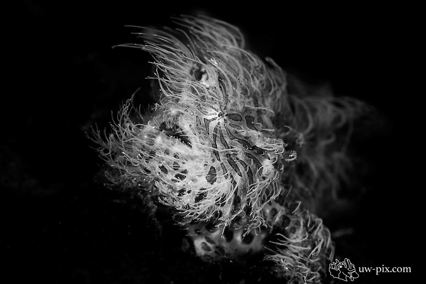 Hairy Frogfish (Antennarius striatus) B&W