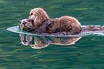 USA, Alaska, Glacier Bay National Park, sea otter (Enhydra lutris), endangered