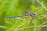 334070019 a wild female plains clubtail dragonfly gomphus externus perches on a mesquite branch at southeast regional park austin texas united states
