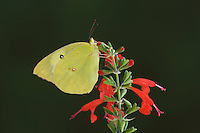 Southern Dogface, Colias cesonia, male on Tropical Sage, Hill Country, Texas, USA, June 2007