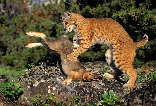 Bobcat and snowshoe hare. Predator/prey. Summer. Rocky Mountains. North America. (Felis rufus).