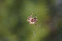 Shamrock Spider (Araneus trifolium) spinning its web