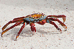 A sally lightfoot crab feeds itself from the white sand beach of the Galapagos Islands.