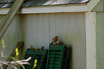 Robin Behind The Shed