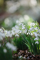 Galanthus 'S. Arnott' Naturalising in the Ditch