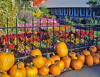 Pumpkins at Harwood Farms. Oregon.