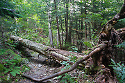Uprooted yellow birch across the Mt Tecumseh Trail in Waterville Valley, New Hampshire that is in the process of being cut with an axe in September 2011. Axe cut can be seen on the upper left hand side of the downed tree.