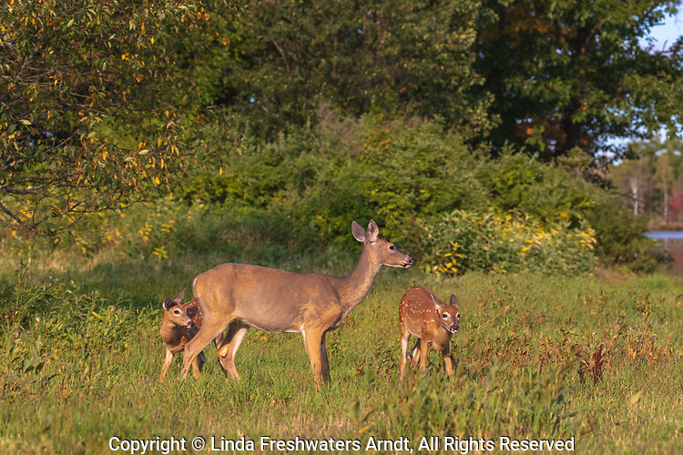 White-tailed doe with her two fawns in a northern Wisconsin field.