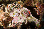 Anilao, Philippines; a pink, green and red solitary Stonefish (Synanceia verrucosa) resting under a ledge in the coral reef, it's venomous fin spines may be deadly